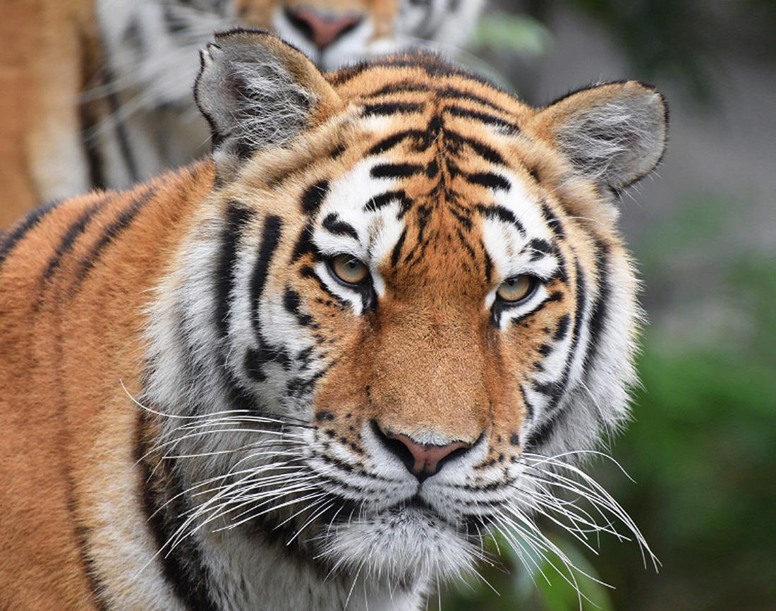 Amur Tiger Waza